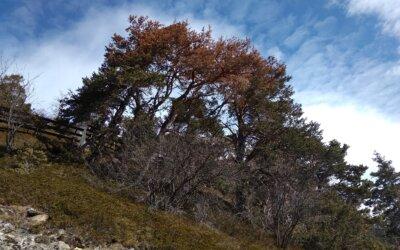 Forst Region Leuk: Es droht ein Föhrensterben